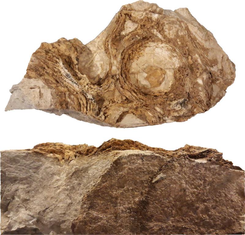 Stromatolithes musée d'Alta